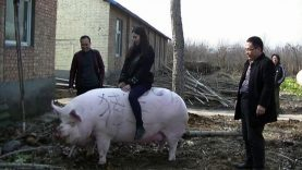 ABOMINATION! China Is Engineering PIGS To Be As Big As