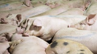 ABOMINATION! Trump Administration Allows Pork Slaughterhouses To Have Fewer USDA