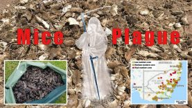 Australian Mice Plague – Judgment for Wickedness