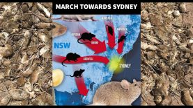 Australian Mouse plague about to get worse